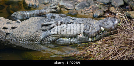 Saltwater crocodile face in a river in Queensland Australia - Stock Photo