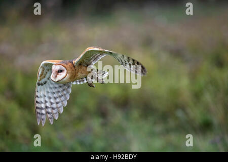 Barn Owl static and in flight Canadian Raptor Conservancy - Stock Photo