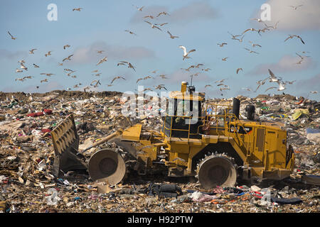 Trashmaster moving garbage in an active landfill cell at Shepard Waste Management Facility with gulls flying overhead - Stock Photo
