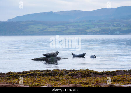 Common Seals, also known as Harbour Seals, Phoca vitulina, Isle of Arran, North Ayrshire, Scotland - Stock Photo