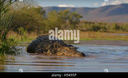 Nile crocodile (Crocodylus niloticus) resting in water, Zimanga Game Reserve, KwaZulu-Natal, South Africa - Stock Photo