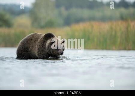European Brown Bear / Europaeischer Braunbaer ( Ursus arctos ) walking through shallow water, hunting, nice surrounding, - Stock Photo