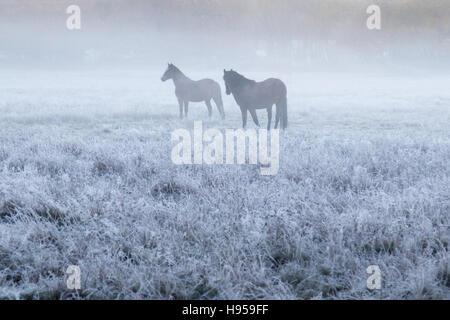 Brokenhurst, Hampshire, UK. November 19th 2016. Horses in the frost and mist near Brockenhurst, in the New Forest, - Stock Photo