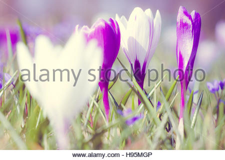 crocus meadow in Spring, naturalistic garden, purple and white flowers, detail view, beautiful scene, - Stock Photo
