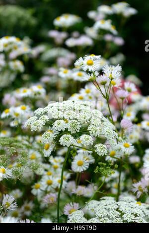 ammi majus daisy daisies flowers flower flowering white mix mixed combination wild natural wildlife garden RM Floral