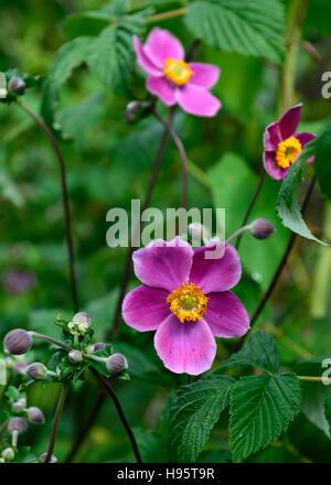 Anemone hupehensis var japonica Prinz Heinrich purple flower flowers flowering windflower autumn late summer display - Stock Photo