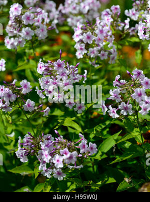 Flowering Garden Phlox - Summer Phlox (Phlox paniculata Stock Photo ...