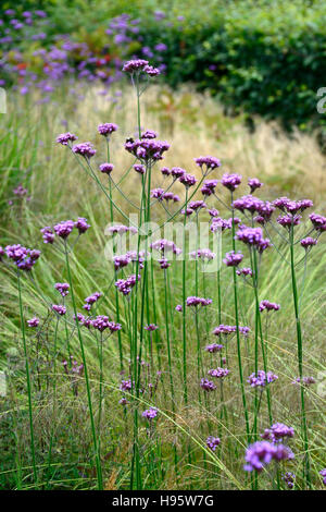 Verbena bonariensis stipa tenuissima tall perennial purple flower verbena bonariensis stipa tenuissima tall perennial purple flower flowers grass grasses mixed planting prairie style mightylinksfo