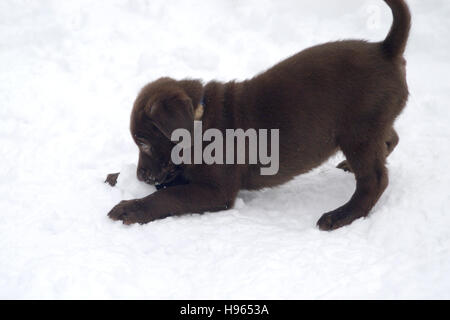 8 week old Chocolate Labrador Retriever puppy playing in snow - Stock Photo