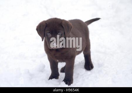 8 week old Chocolate Labrador Retriever standing in snow - Stock Photo