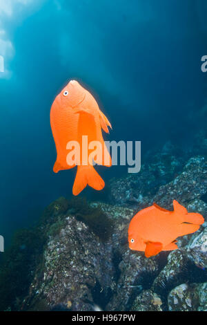 Handheld.  Garibaldi or Hypsypops rubicundus.  Photographed underwater at Catalina Island of the Channel Islands, CA.  . Stock Photo