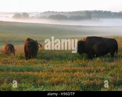 A herd of American bison graze on the prairie fields at the Neal Smith National Wildlife Refuge 2009 in Prairie - Stock Photo