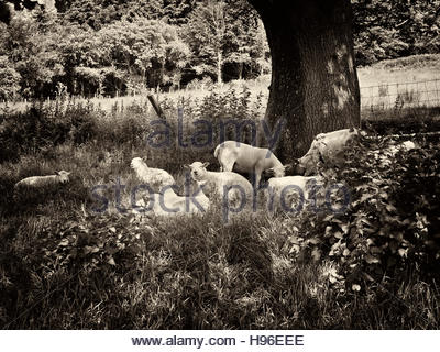 Flock of sheep sheltering from the sun under a tree in the British uk countryside - Stock Photo