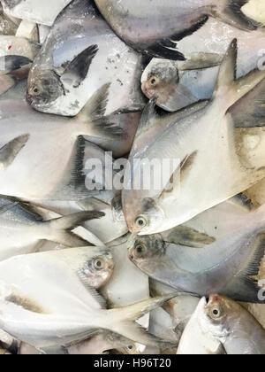 Close up of fresh fish  pomfret or local called Bawal Fish on display at fish market.