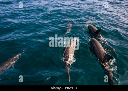 Herd of six dolphins swimming at the water surface in the Indian Ocean near Maldives. - Stock Photo
