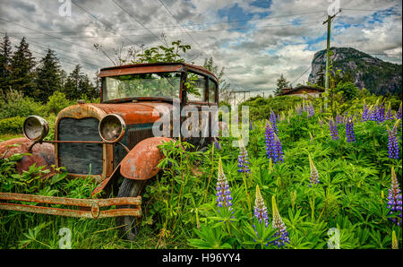 An abandoned car is overgrown by weeds and purple lupine in a field near Squamish, British Columbia. - Stock Photo