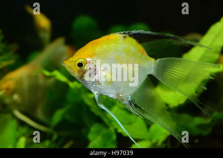 Angelfish aquarium fish - Stock Photo