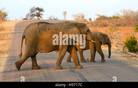 Two elephants crossing a road in Kruger National Park in South Africa under the glow of the afternoon sun. - Stock Photo