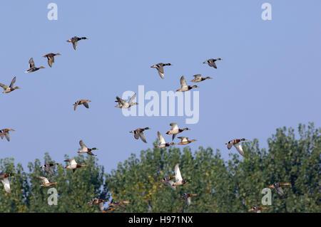 Anas platyrhynchos, Mallard or Wild duck in flyng Mari e Pauli pond, Sardinia - Stock Photo
