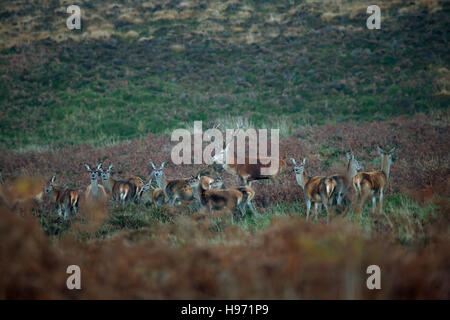 Red Deer Stag and Hinds on Exmoor in England,UK - Stock Photo
