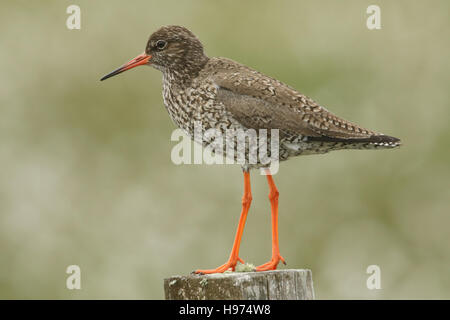 A Redshank (Tringa totanus)  perched on a post. - Stock Photo