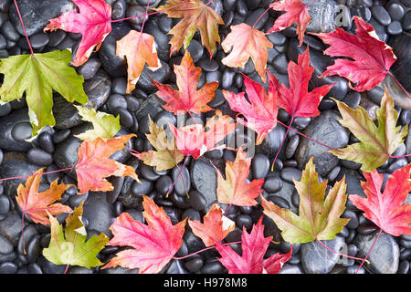 Fall Conceptual view of Fallen Colorful Maple Leaves laying Randomly on the Rocky Ground - Stock Photo
