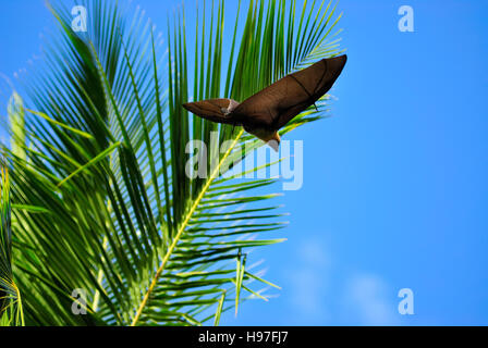 Seychelles Fruit Bat flying past a palm tree - Stock Photo