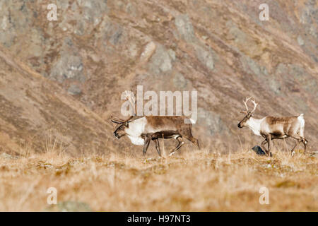 A bull and cow caribou in the Alaskan Range mountains during the autumn rut. - Stock Photo