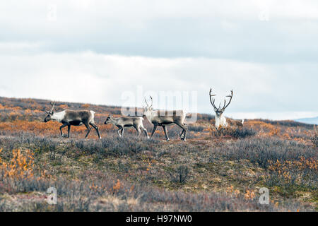 Caribou herd in the Alaskan Range mountains during the autumn rut. - Stock Photo