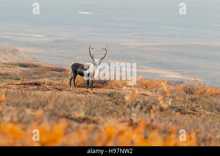 A lone male caribou in the Alaskan Range mountains during the autumn rut. - Stock Photo