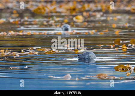Harbour seals (Phoca vitulina) bottling amidst the kelp near the shore of the Tongass National Forest, Southeast - Stock Photo