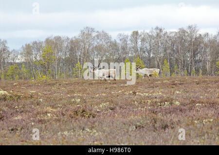 European reindeer (Rangifer tarandus): bull she-deer and high marsh Lapland in spring - Stock Photo