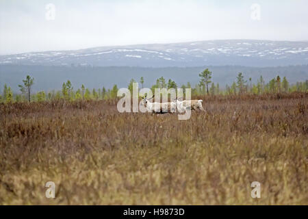 European reindeer (Rangifer tarandus): bull she-deer and high marsh Lapland in spring. On backdrop of hills and - Stock Photo