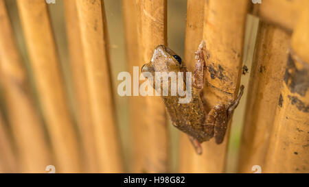 Close up of Beautiful Frog on Dry Bamboo Stick. Top Short Perspective. Koh Tao, Thailand - Stock Photo