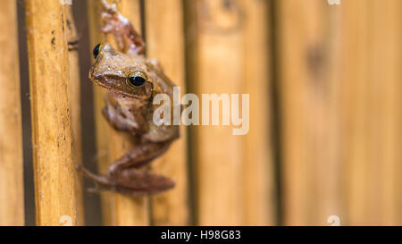 Close up of Beautiful Frog on Dry Bamboo Stick. Front Short Perspective. Koh Tao, Thailand - Stock Photo