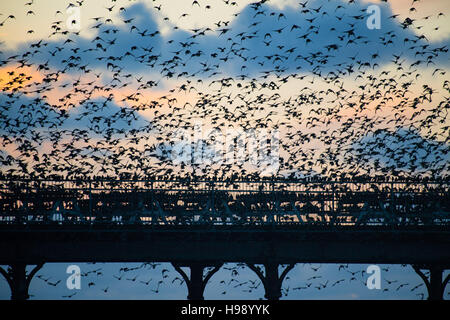 Aberystwyth Wales UK, Sunday  20 November 2016  UK weather : On a calm, clear  and cold evening flocks of  starlings - Stock Photo
