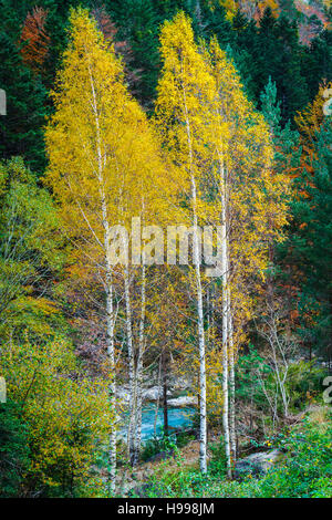 Silver birch (Betula pendula) in autumn. - Stock Photo