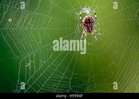 Western Spotted Orb Weaver - (Neoscona oaxacensis) Spider in center of web - Stock Photo