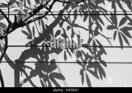 Afternoon Shadows of branches and leaves of a tree on a while wall in Hyderabad,India - Stock Photo