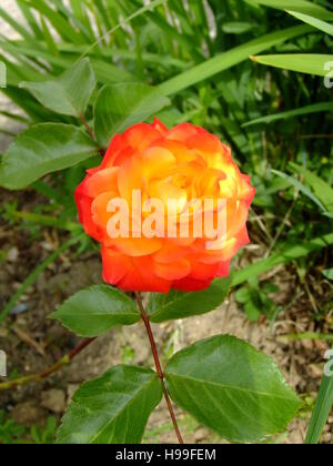 orange two tone rose - Stock Photo