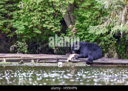 A coastal Black Bear feeding on a Chum Salmon freshly caught from the river, Tongass National Forest, Southeast - Stock Photo