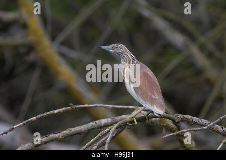 Squacco Heron, (Ardeola ralloides), immature/winter adult, standing on a branch in the river, Danube Delta, Romania. - Stock Photo