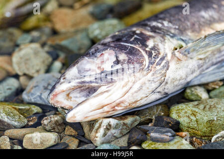 Spawned-out Pacific salmon provide rich oceanic nutrients to the freshwater and coastal rainforest ecosystems in coastal Alaska
