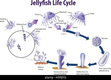 Vector Illustration Of Fish Life Cycle Stock Vector Art