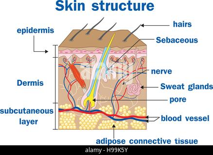 Diagram Of The Skin Structure Download Wiring Diagrams