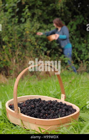 Rubus. Blackerries are picked from an English hedgerow by a female in summer. UK - Stock Photo