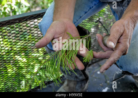 Naturalist shows difference between pond cypress and bald cypress in Big Cypress National Preserve, Florida, on - Stock Photo