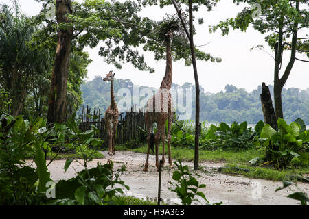 Giraffe nibbling leaves from the trees - Stock Photo