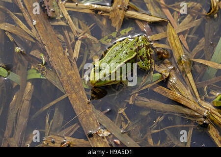 frog in a pond, Mecklenburg-West Pomerania, Germany - Stock Photo