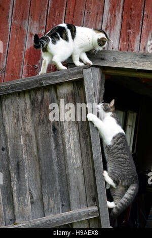 Cats climbing and playing with old broken door. - Stock Photo